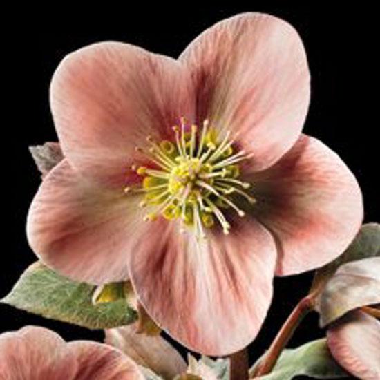 x ericsmithii ' HGC Pink Frost ' ® -385