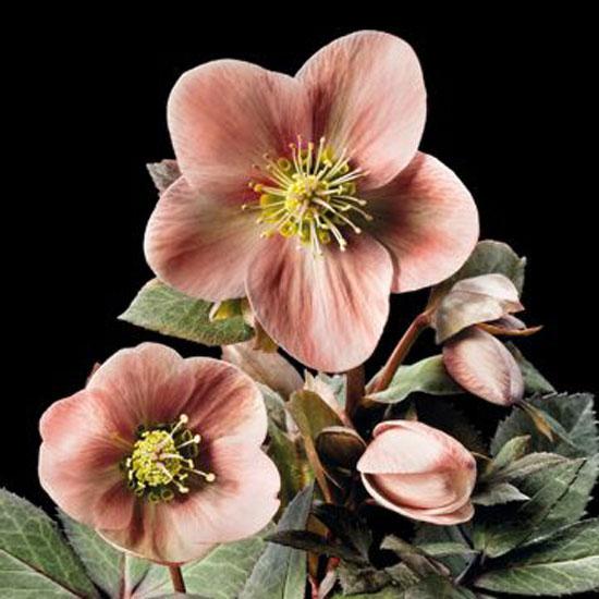 x ericsmithii ' HGC Pink Frost ' ® -0