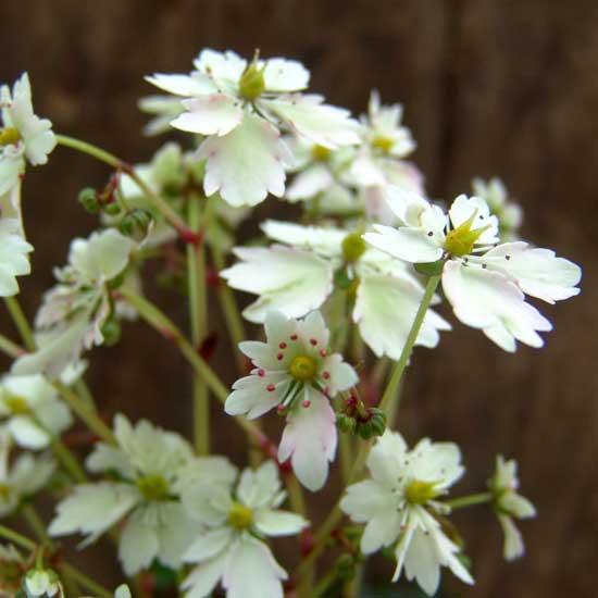 Cortusifolia Elegance JP-86