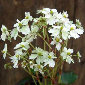 Cortusifolia Elegance JP-0