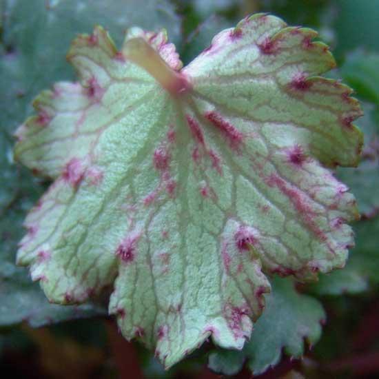 Cortusifolia Elegance JP-89