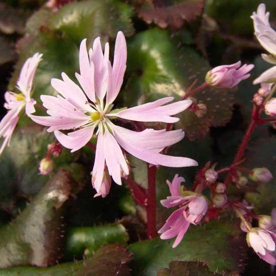 Cortusifolia Glückliches Mädchen-96