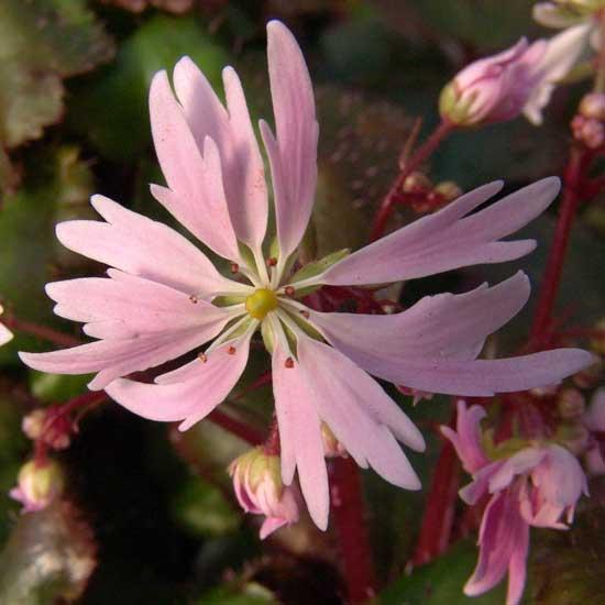 Cortusifolia Glückliches Mädchen-97