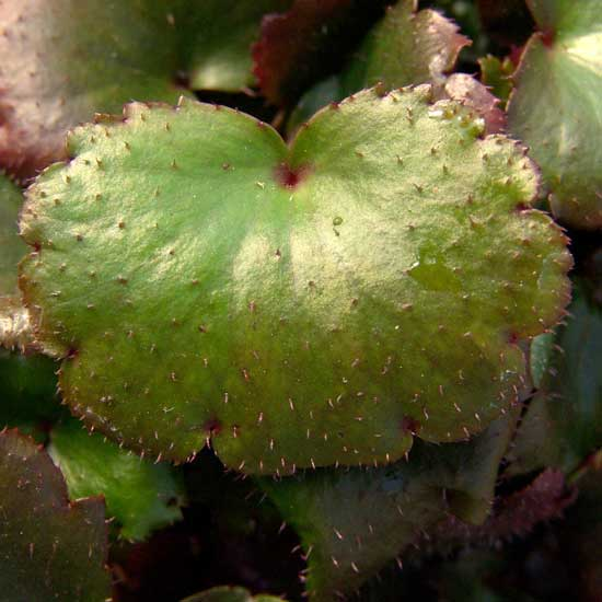 Cortusifolia Glückliches Mädchen-98