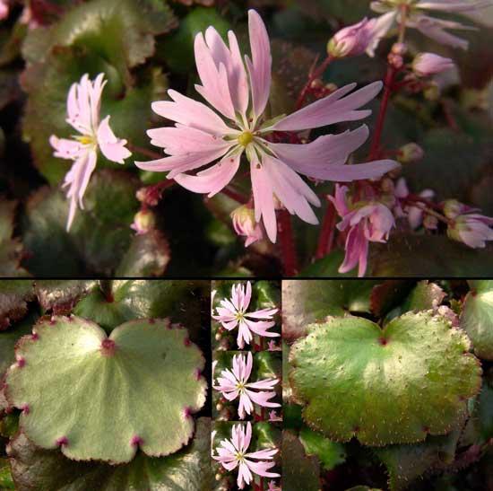 Cortusifolia Glückliches Mädchen-0