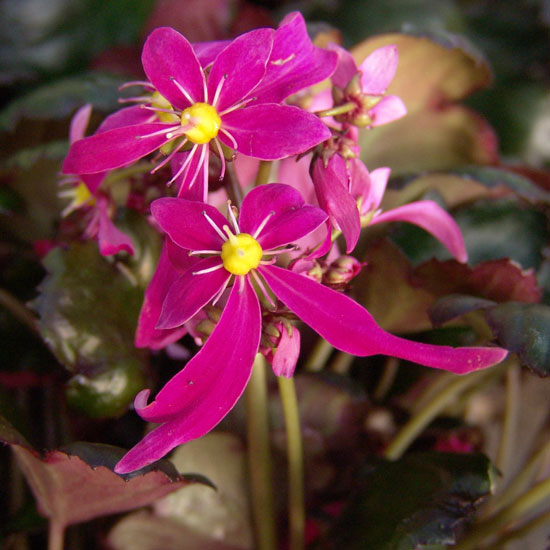 Cortusifolia Heisel Kurenai-101