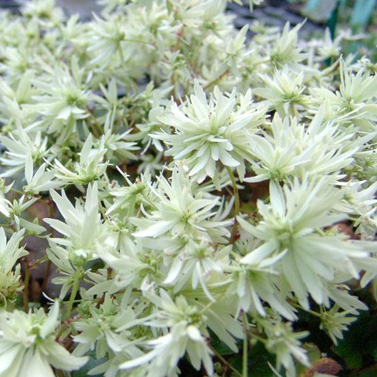 Cortusifolia Moe-131