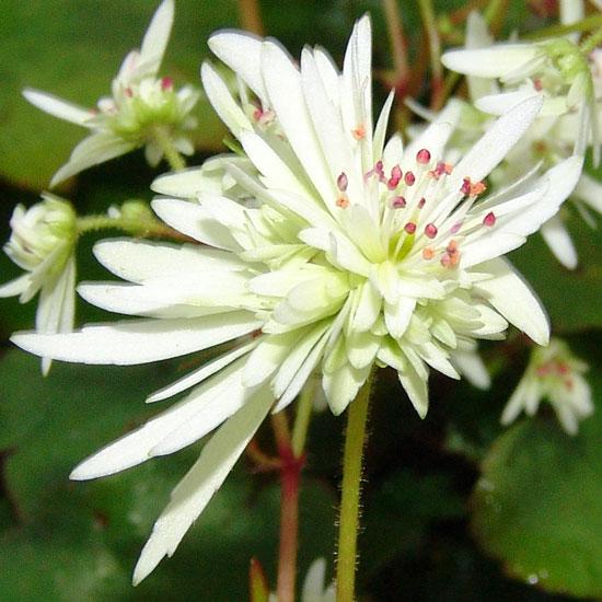 Cortusifolia Moe-132