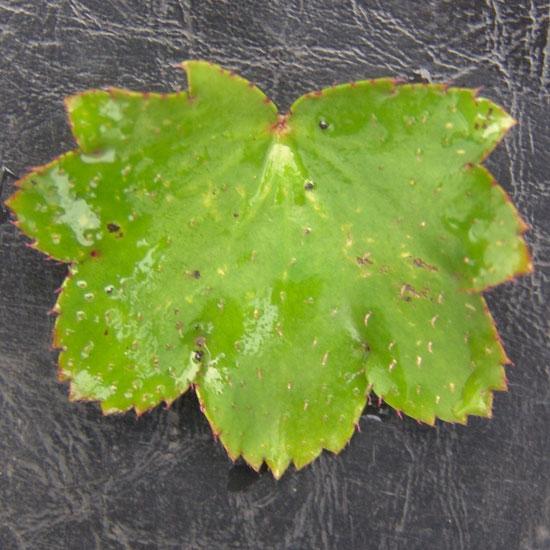 Cortusifolia Moe-133