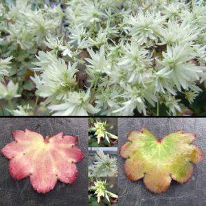 Cortusifolia Moe-0