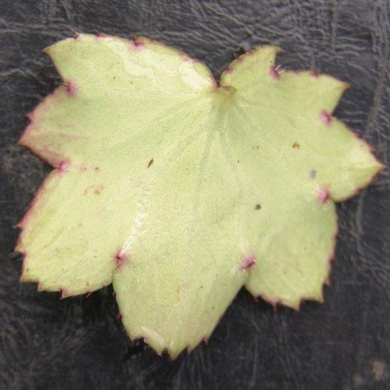 Cortusifolia Moe-134