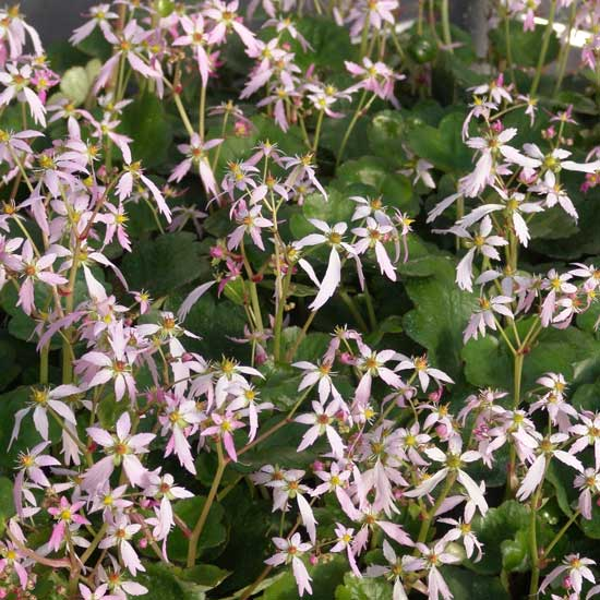 Cortusifolia Momosekisui-141