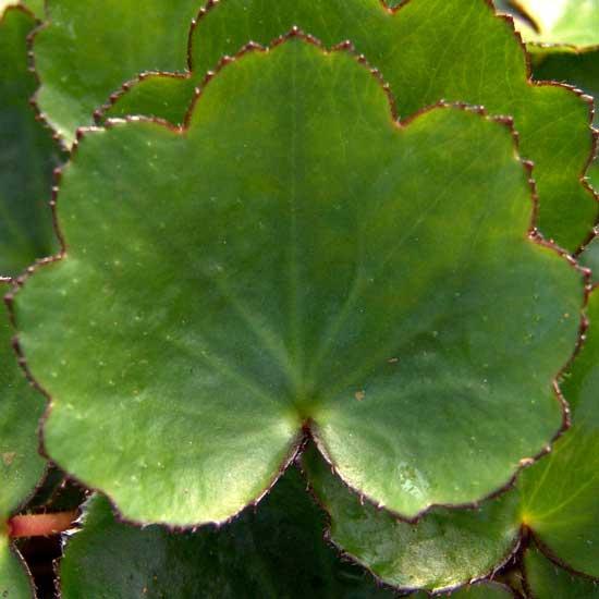 Cortusifolia Momosekisui-143
