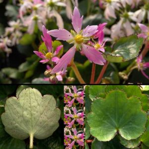 Cortusifolia Momosekisui-0