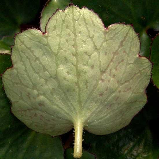 Cortusifolia Momosekisui-144