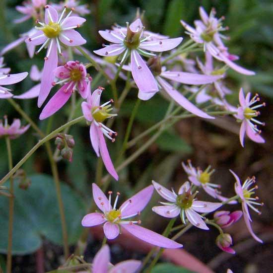 Cortusifolia Mugisin-151