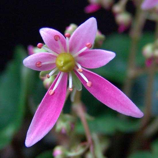Cortusifolia Mugisin-152
