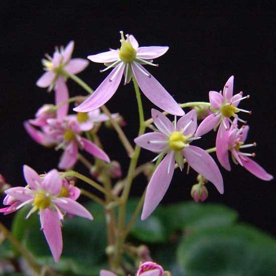 Cortusifolia Mugisin-153