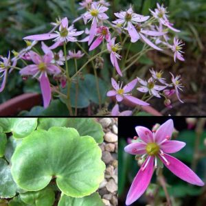 Cortusifolia Mugisin-0