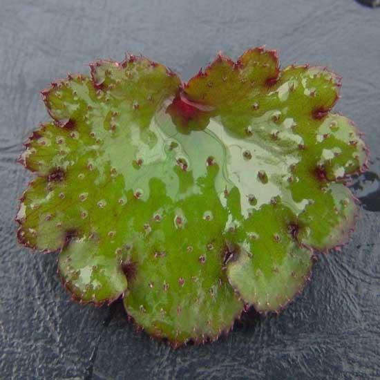 Cortusifolia Prinzessin Kran-159