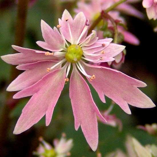 Cortusifolia Aya -40