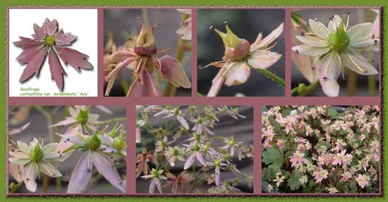Cortusifolia Aya -42