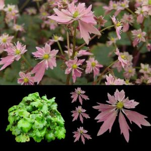 Cortusifolia Aya -0