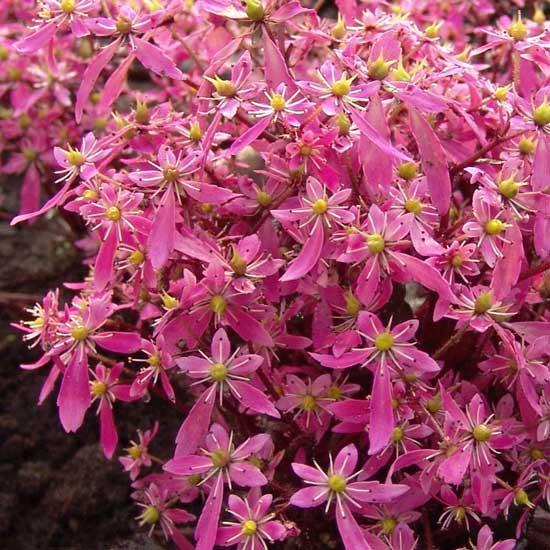 Cortusifolia Black Ruby-311