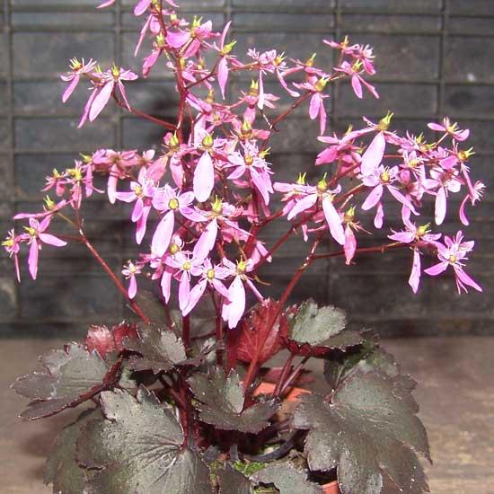 Cortusifolia Black Ruby-312