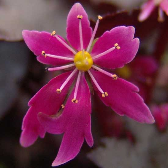 Cortusifolia Black Ruby-313