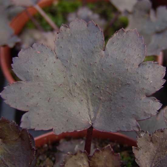 Cortusifolia Black Ruby-314