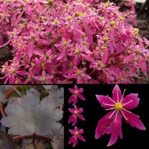 Cortusifolia Black Ruby-0