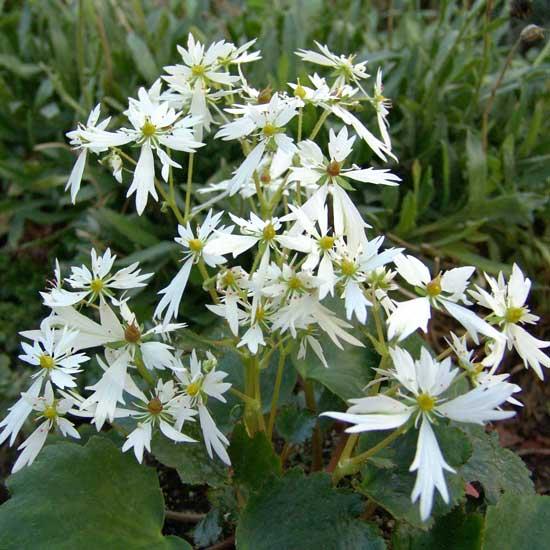 Cortusifolia Senoyuki-161