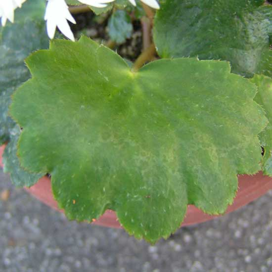 Cortusifolia Senoyuki-163
