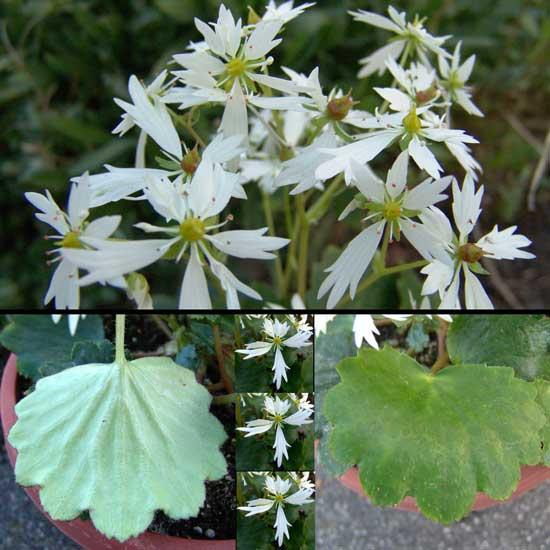 Cortusifolia Senoyuki-0