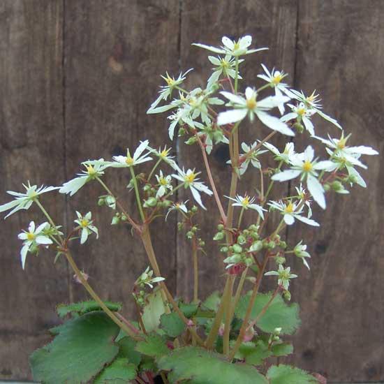 Cortusifolia Setomidori-166