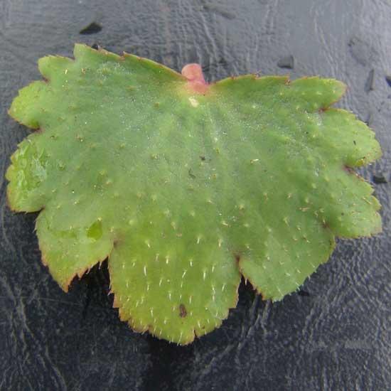 Cortusifolia Setomidori-168