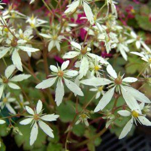 Cortusifolia Setomidori-0
