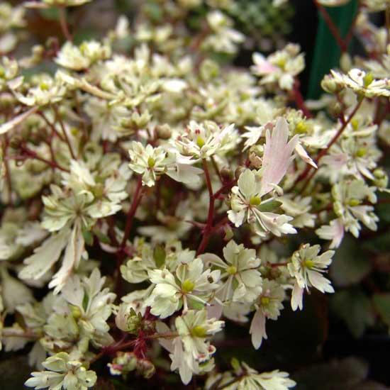 Cortusifolia Setsurin-171