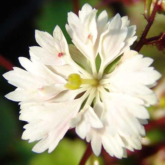 Cortusifolia Setsurin-172