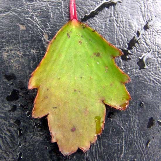 Cortusifolia Setsurin-173
