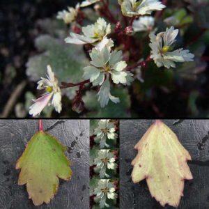 Cortusifolia Setsurin-0