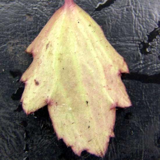 Cortusifolia Setsurin-174