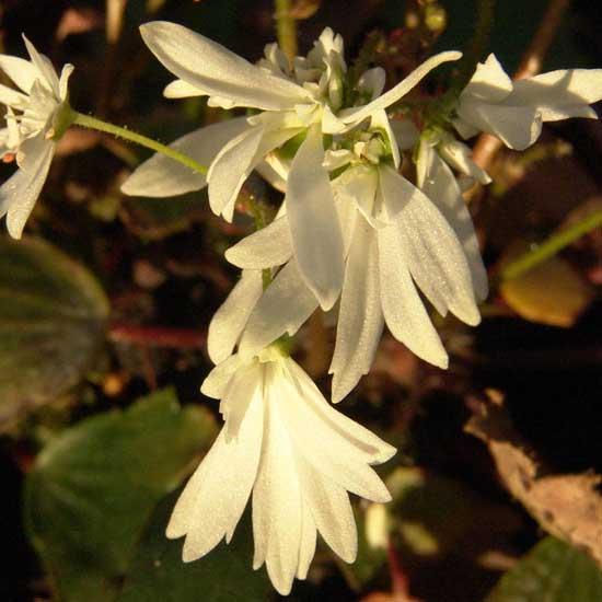 Cortusifolia Shiranami-186