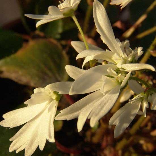 Cortusifolia Shiranami-187