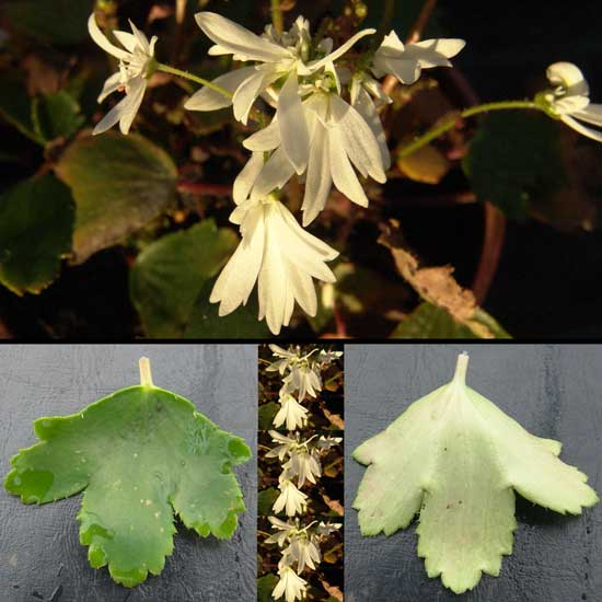 Cortusifolia Shiranami-0