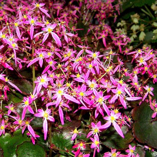 Cortusifolia Warmes Herz-206