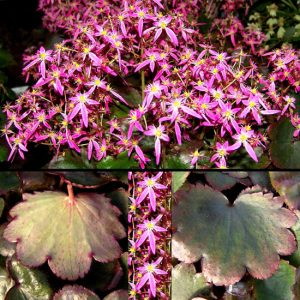 Cortusifolia Warmes Herz-0