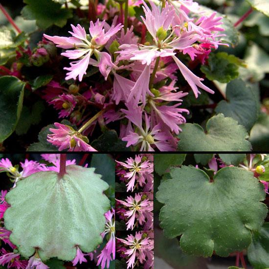 Cortusifolia Youkuy-0