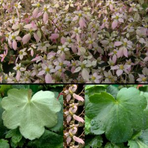 Cortusifolia Yunagi-0